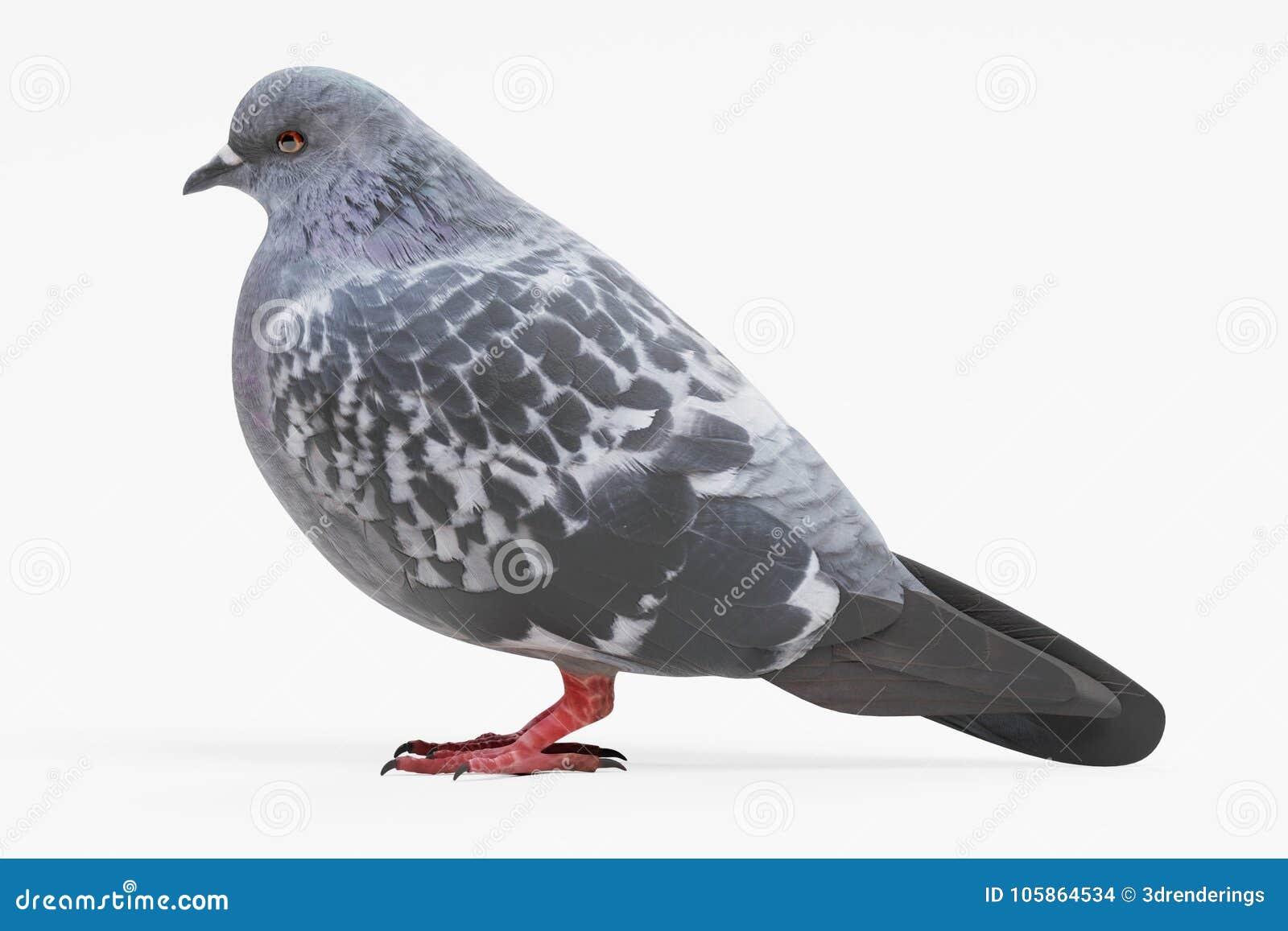 3d rendono del piccione
