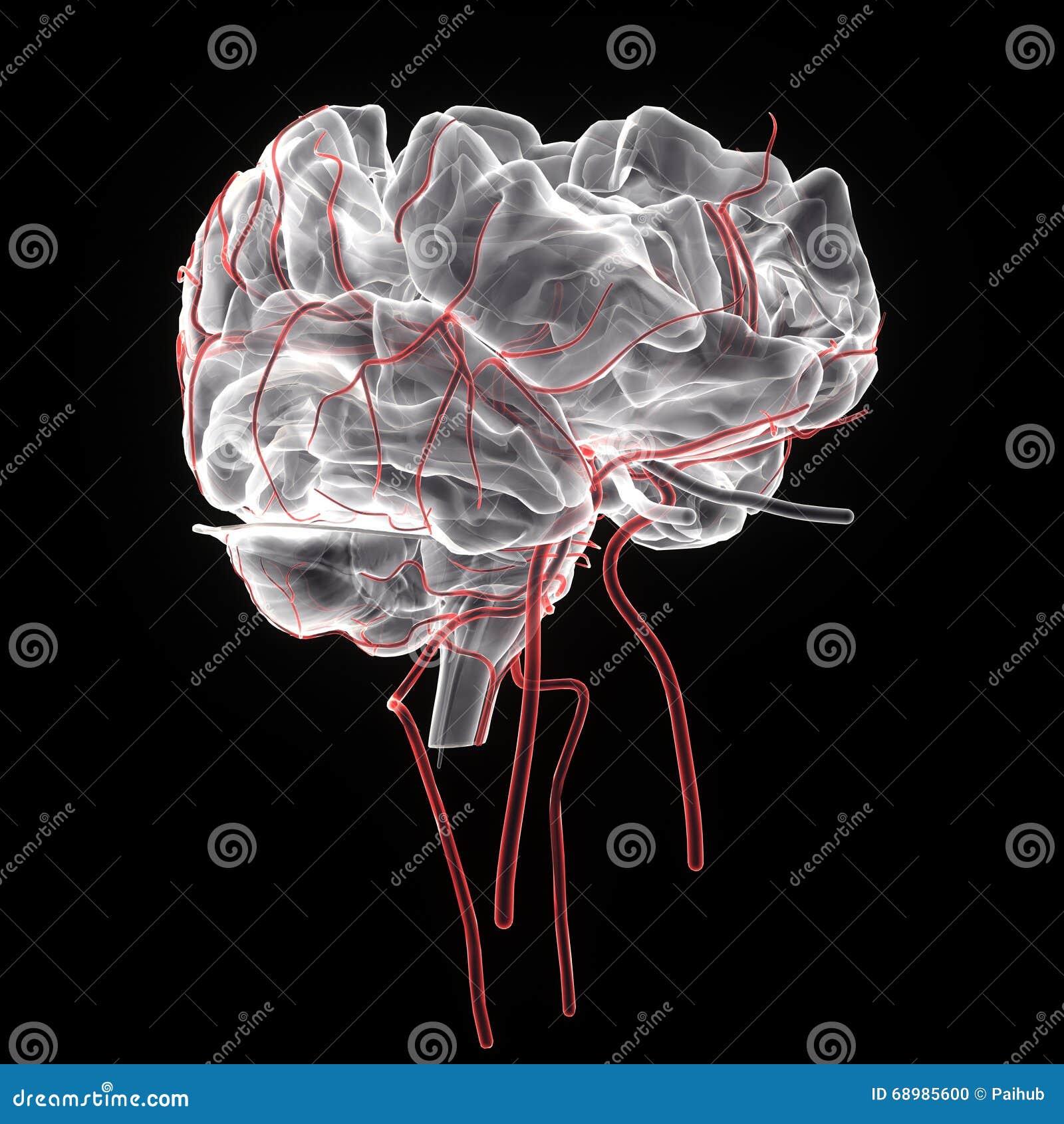 3d a rendu l illustration médicalement précise de l anatomie de cerveau