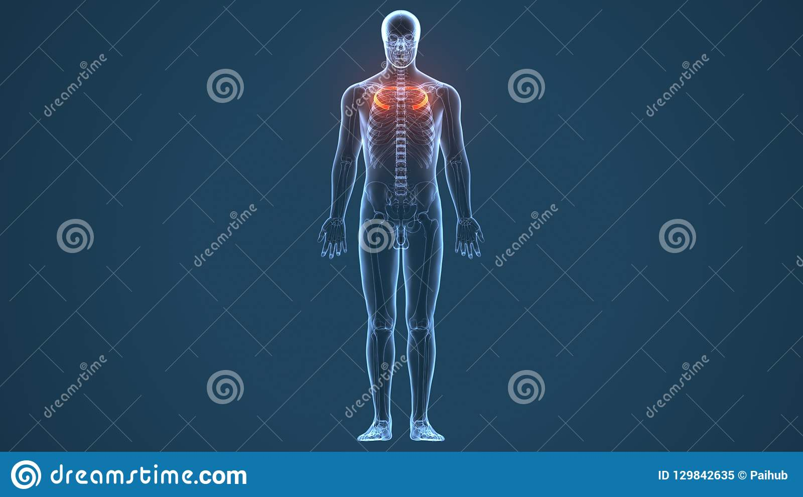3d a rendu l illustration - système de cartilage costal