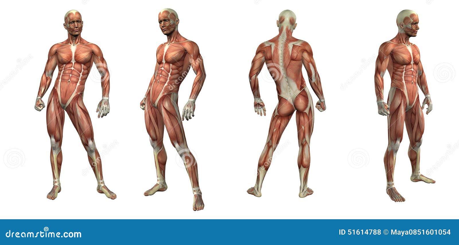 3d Rinden El Ejemplo Del Sistema Muscular Stock de ilustración ...