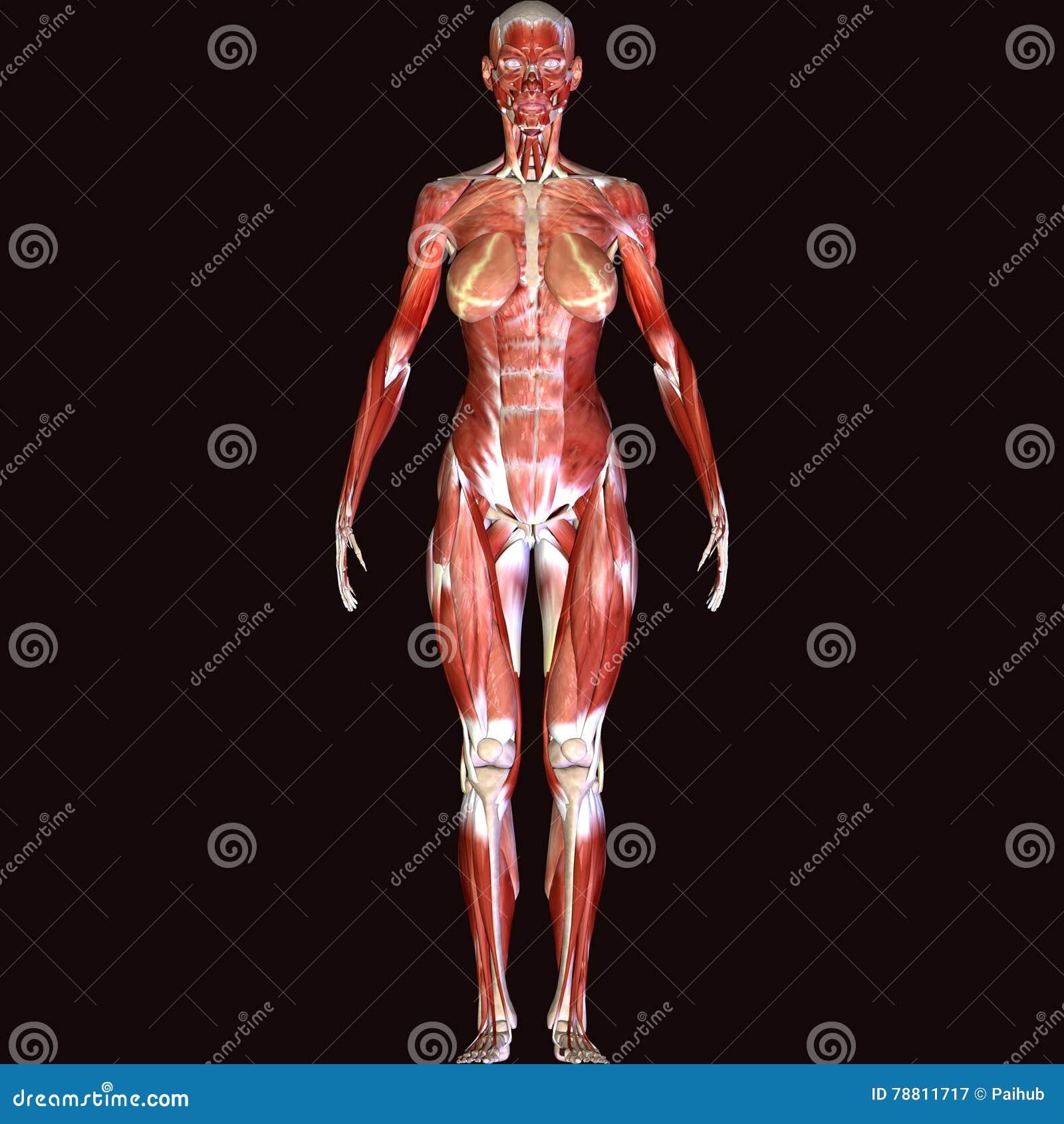 3d Rinden La Representación De La Estructura Del Músculo Del Cuerpo ...