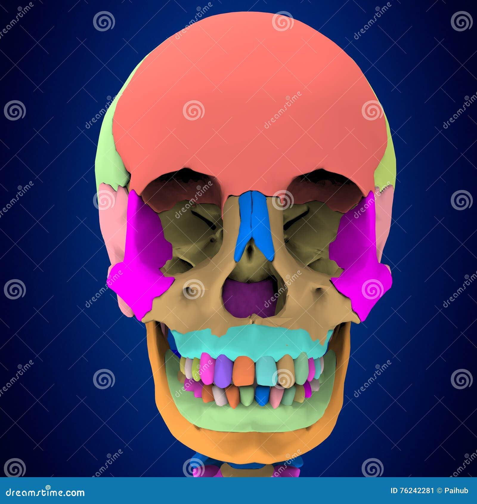 3d Rindió El Ejemplo - Anatomía Humana Del Cráneo Stock de ...