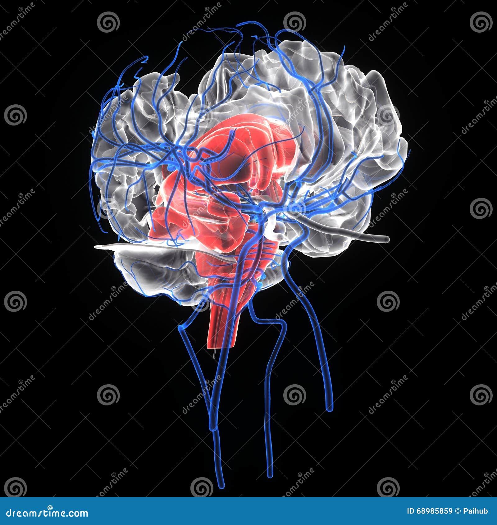 3d rindió el ejemplo médicamente exacto de la anatomía del cerebro