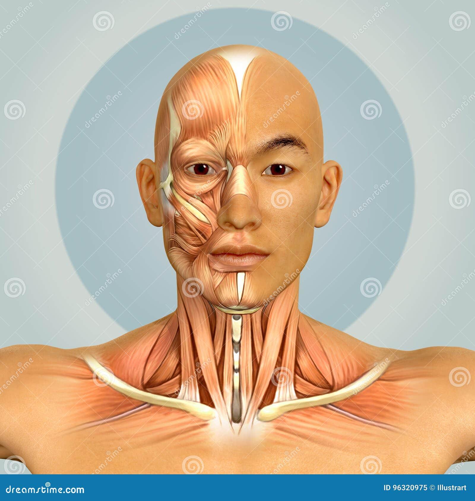 3d Samiec Modela Szyi I Twarzy Miesni Azjatycka Anatomia Ilustracji
