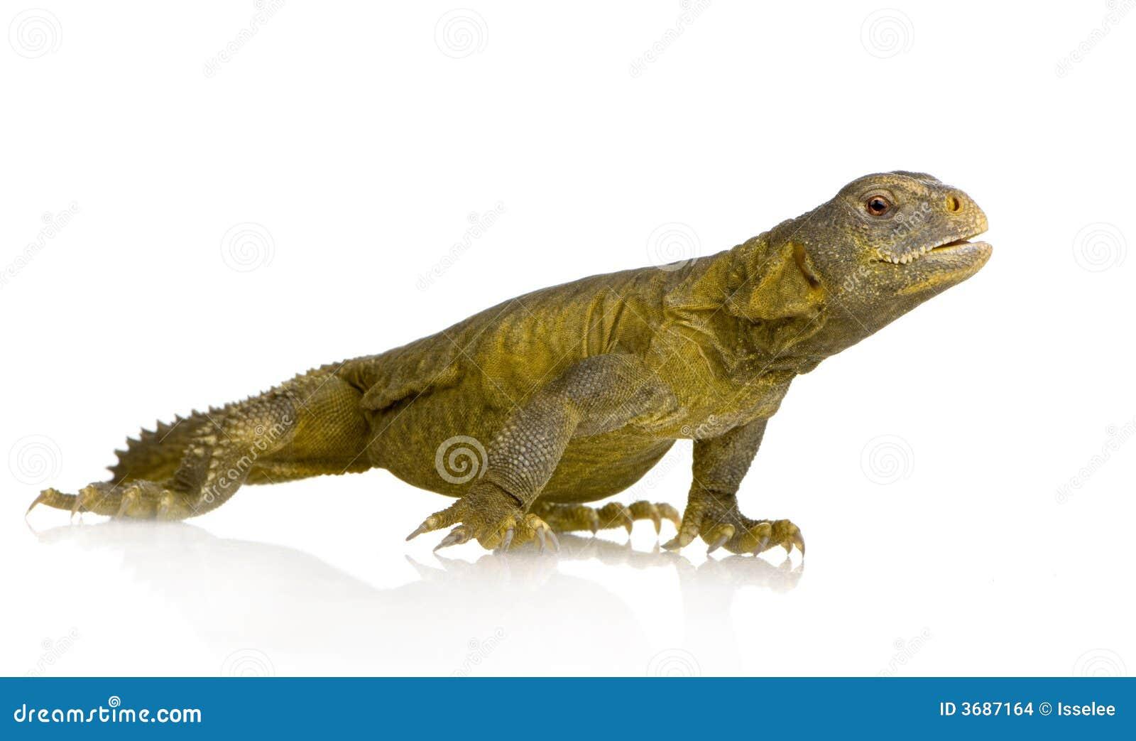 More similar stock images of ` Dabb Lizard - Uromastyx aegyptia `