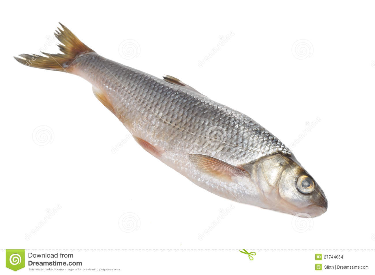 Fresh common dace fish isolated on a white background.