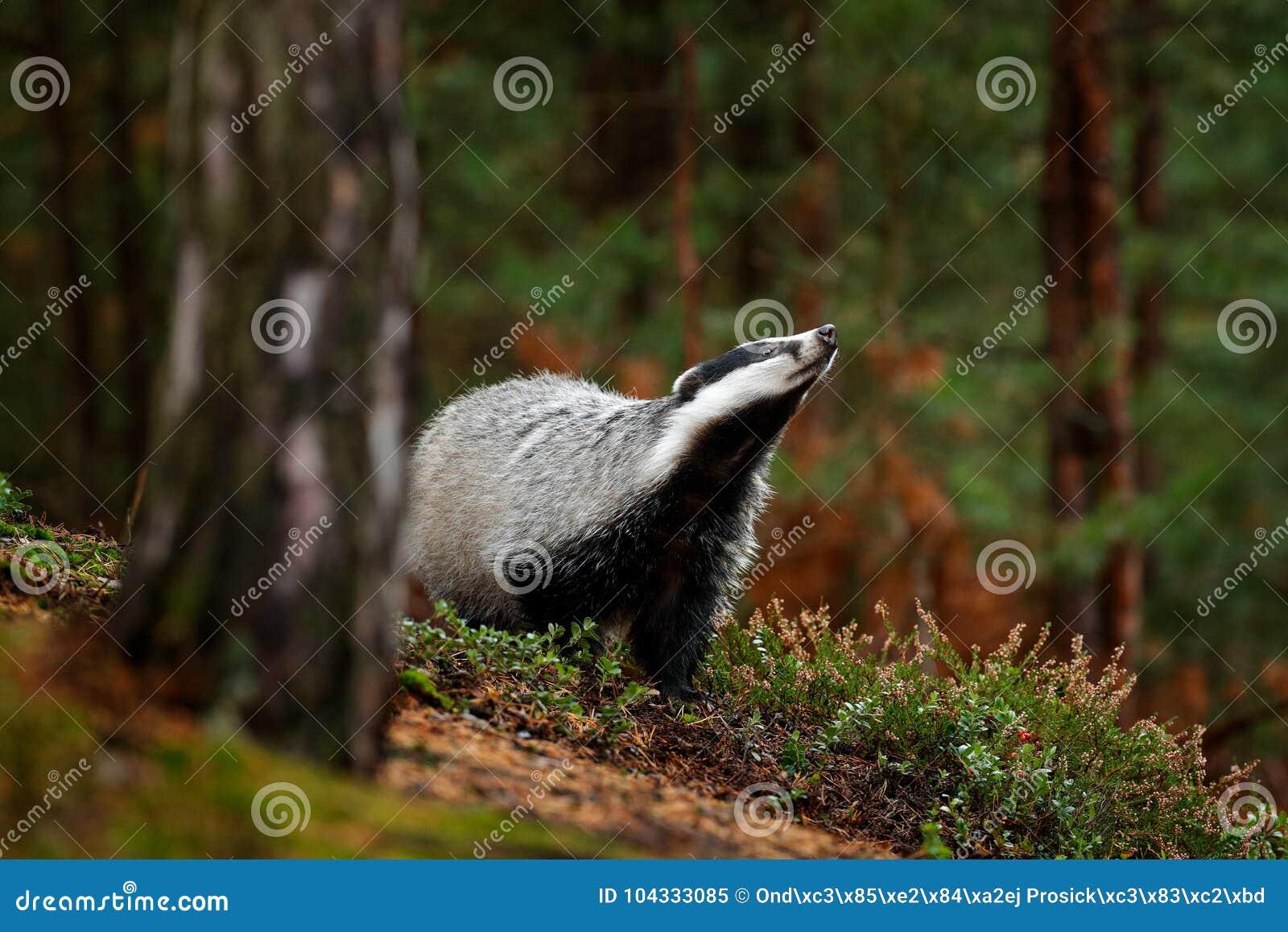 Dachs im Wald, Tiernaturlebensraum, Deutschland, Europa Szene der wild lebenden Tiere Wilder Dachs, Meles Meles, Tier im Holz Eur