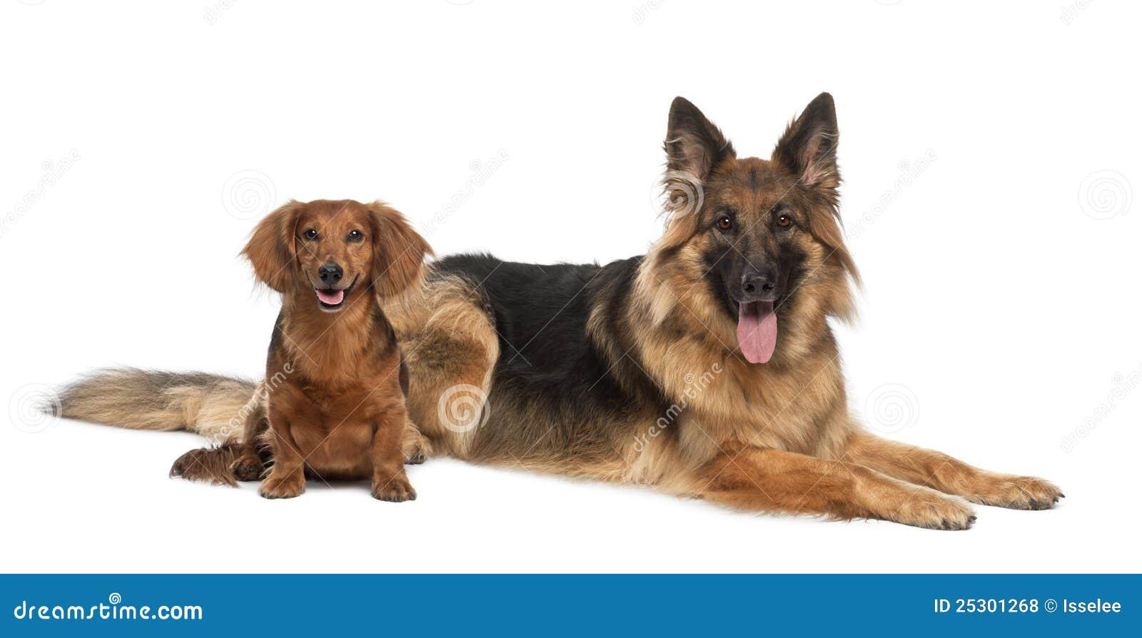 Dachshund, 9 Years Old, German Shepherd Dog Stock Photo ...