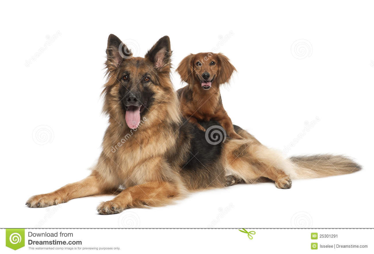 Dachshund 9 Years Old German Shepherd Dog Stock Image