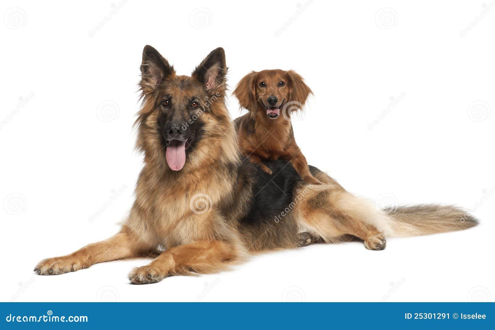 Dachshund, 9 years old, German Shepherd Dog, 3 years old, portrait ...