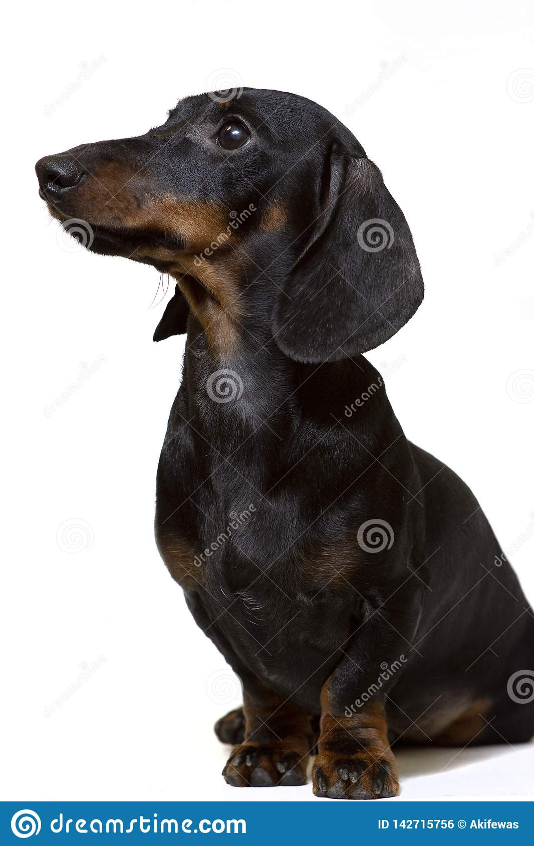 Dachshund black sits staring intently at the white
