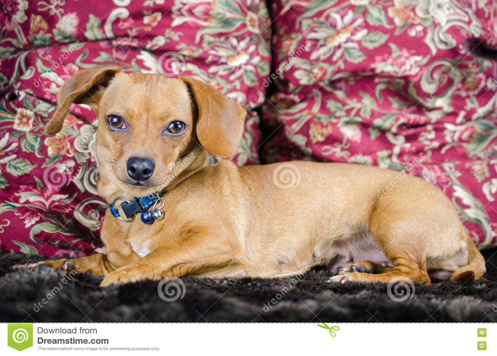 Dachshund Chihuahua Chiweenie Adoption Portrait Stock Image