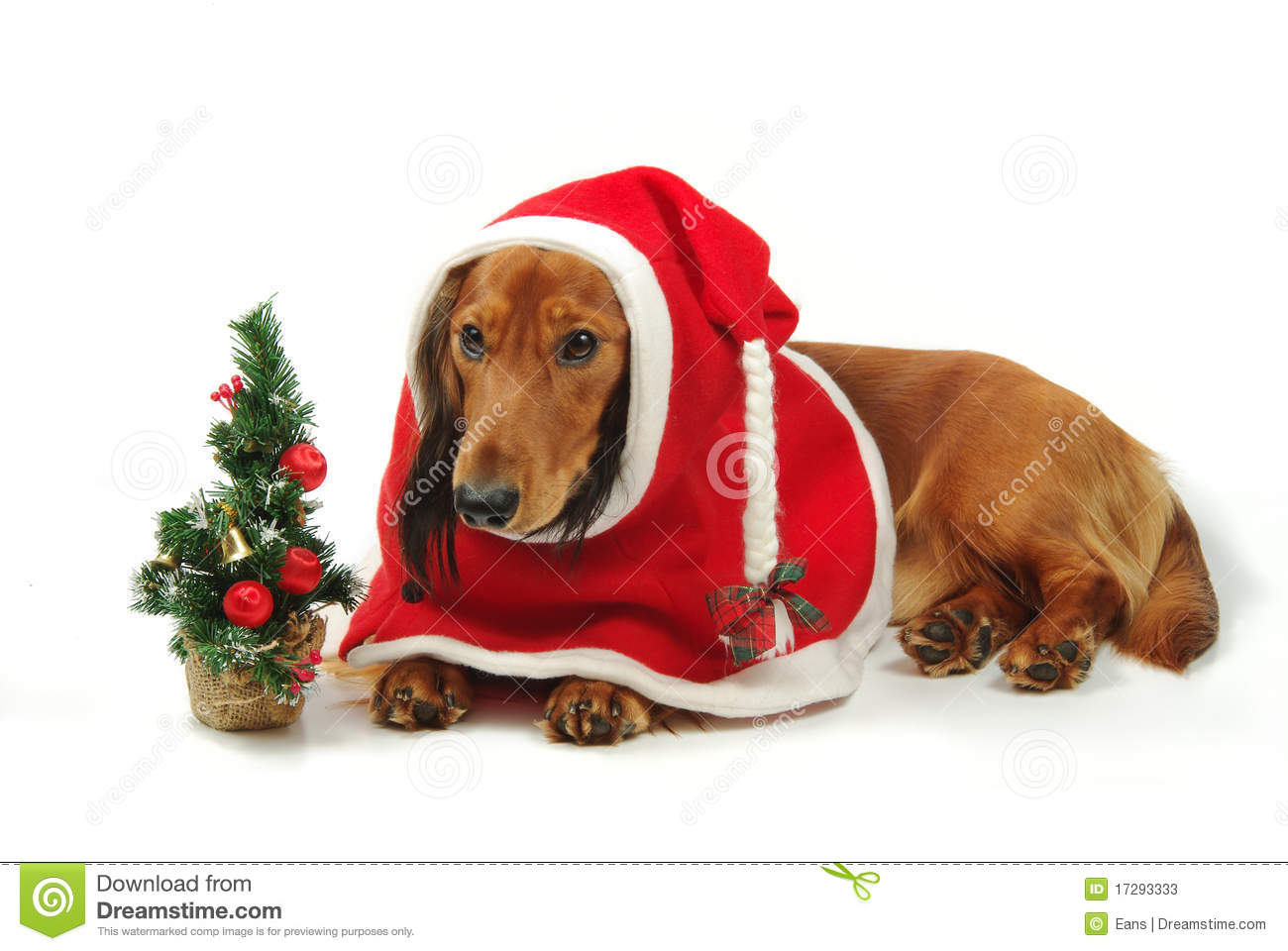 Dachshund And Christmas Stock Photos Image 17293333