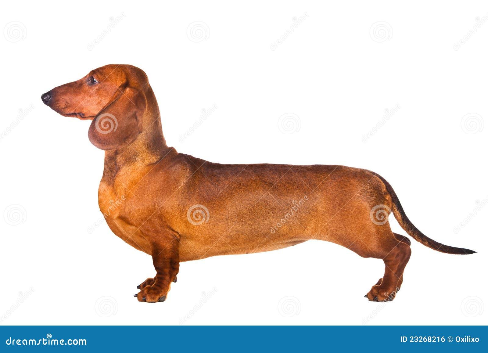 Dachshund Dog  Dachshund Dog