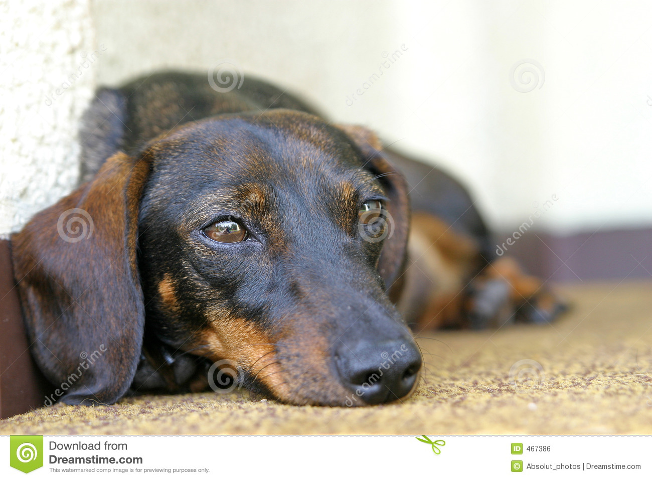 Download Dachshund Dog stock photo. Image of barking, lying, domesticated - 467386