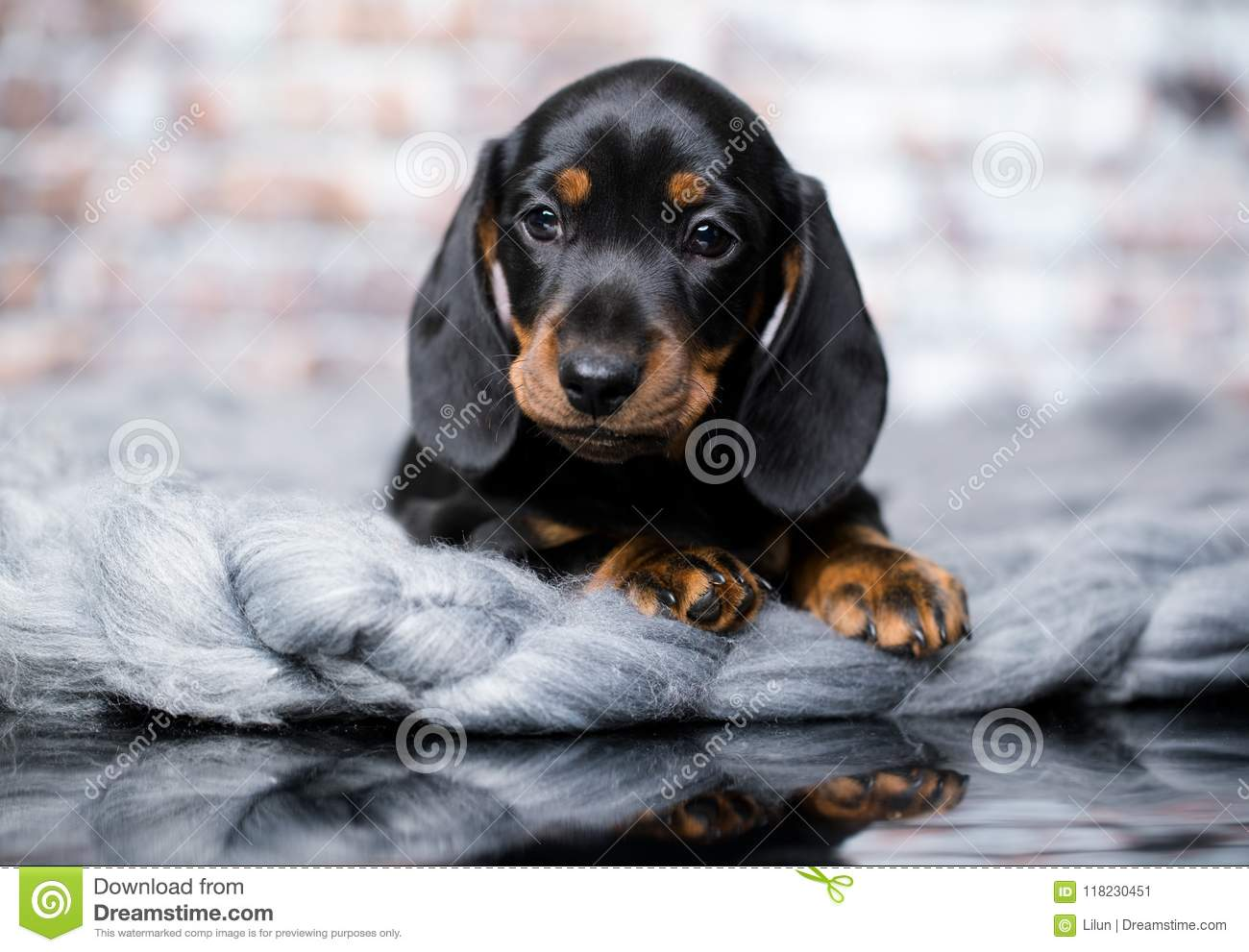 Dachshund Dog Black Tan Stock Image Image Of Daisy 118230451