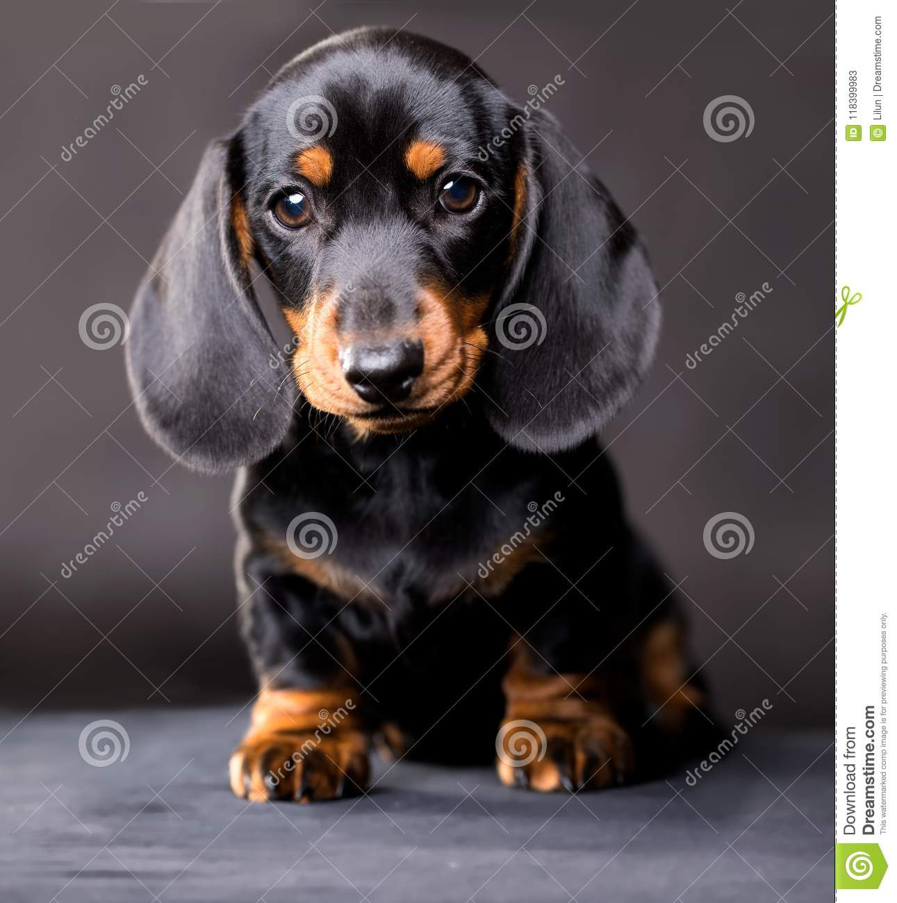 Dachshund Dog Black Tan Stock Image Image Of Carnivore 118399983