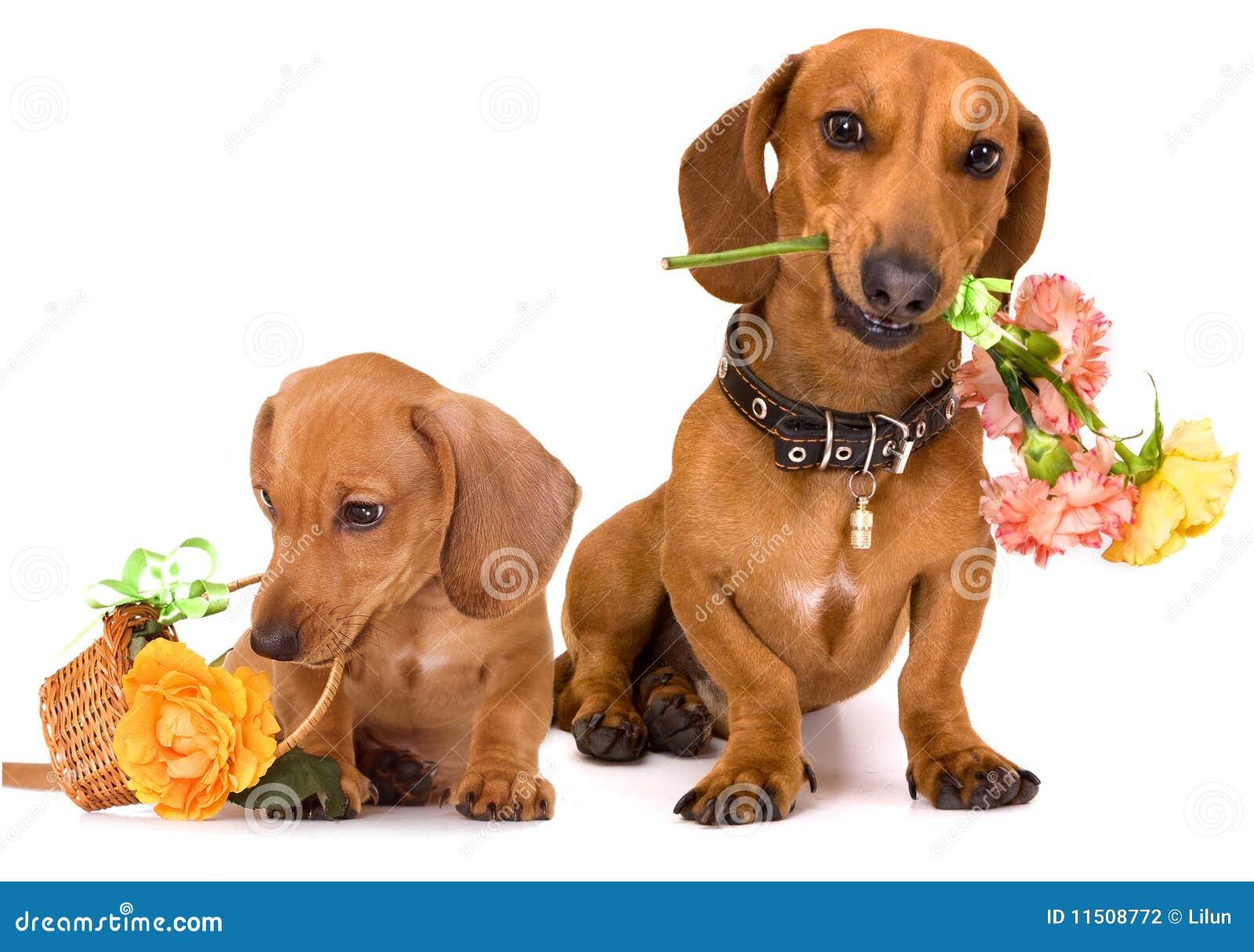 Открытка собака такса