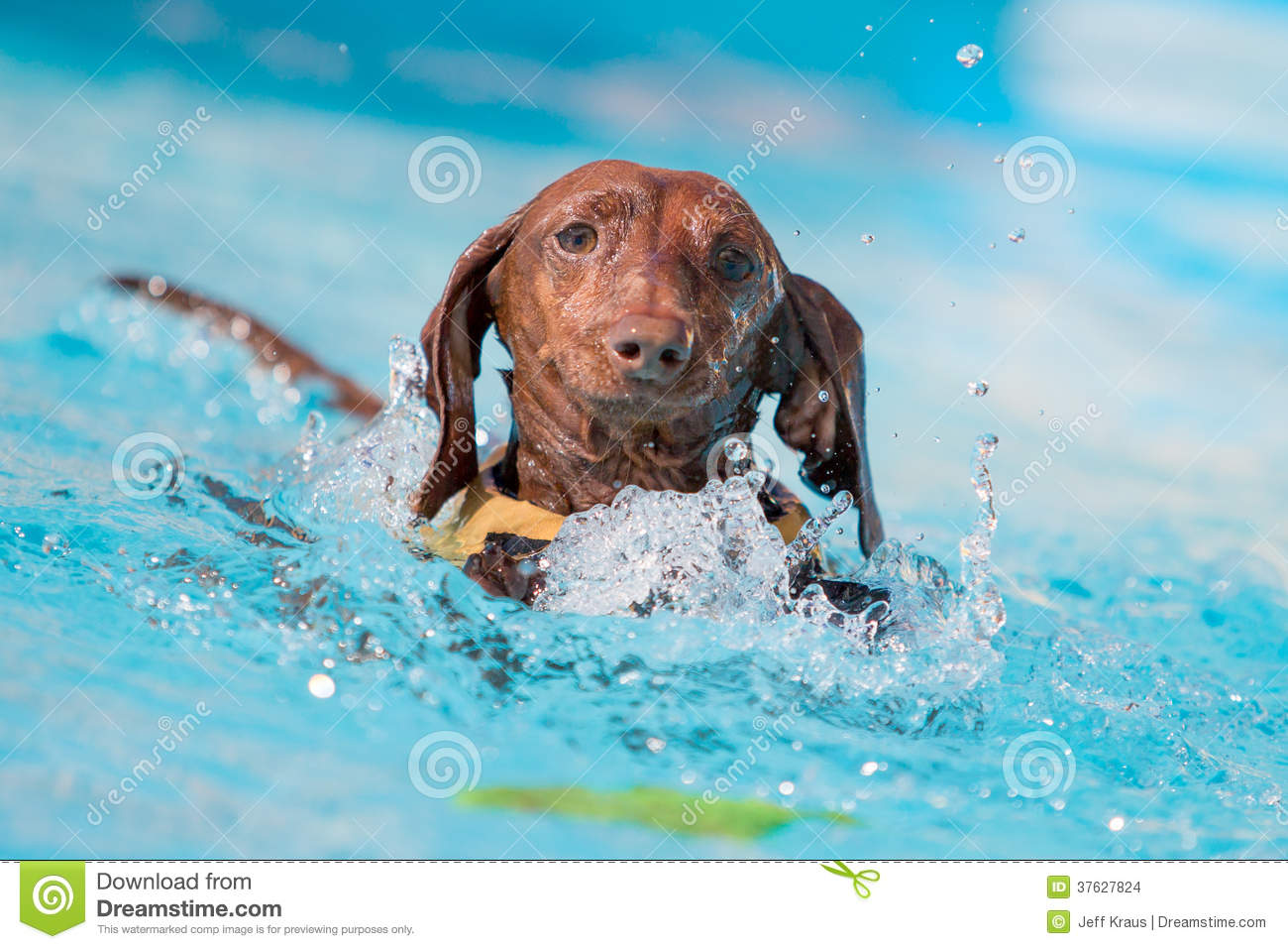 Dachshund Dog Grabbing Toy in the Water