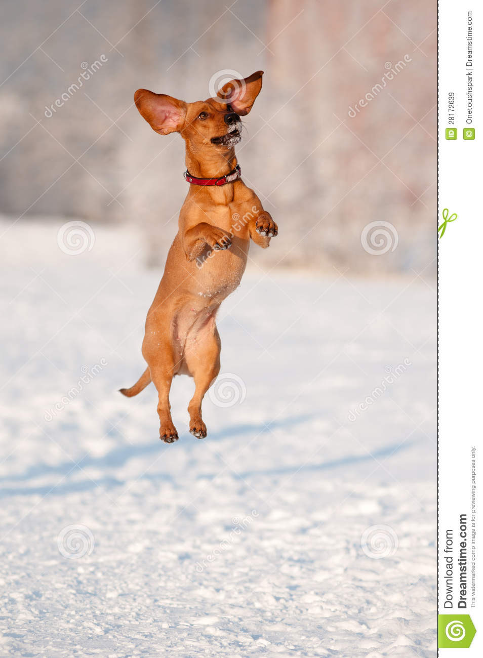 Dachshund Dog Jumping Up Royalty Free Stock Images - Image ...