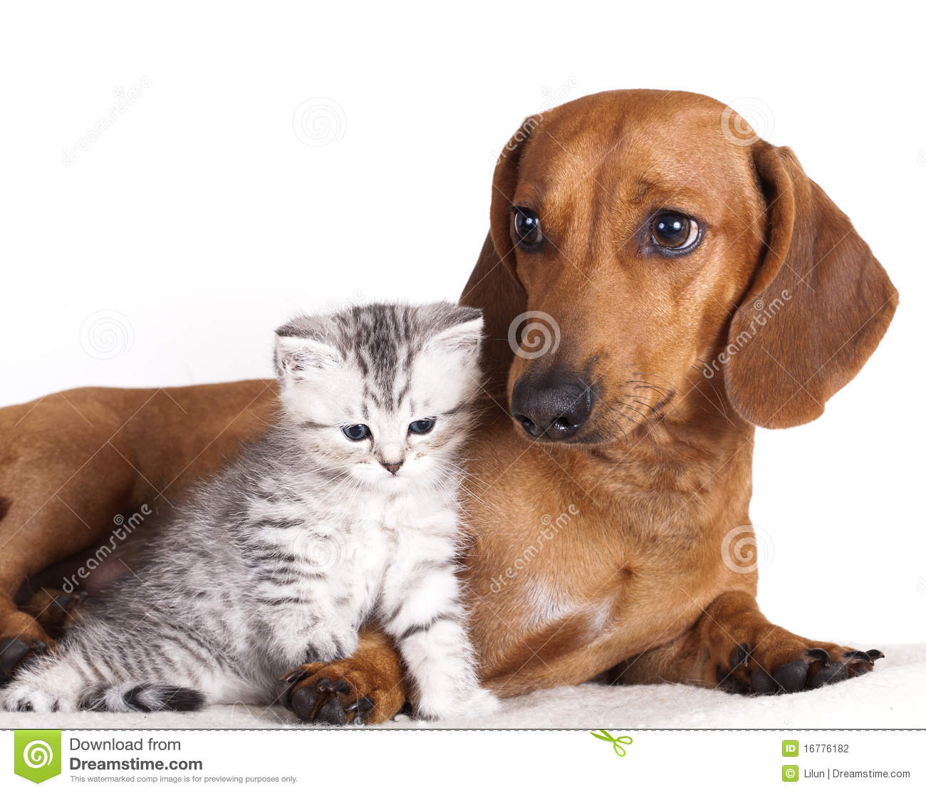 Dachshund Dog And Kitten Stock graphy Image