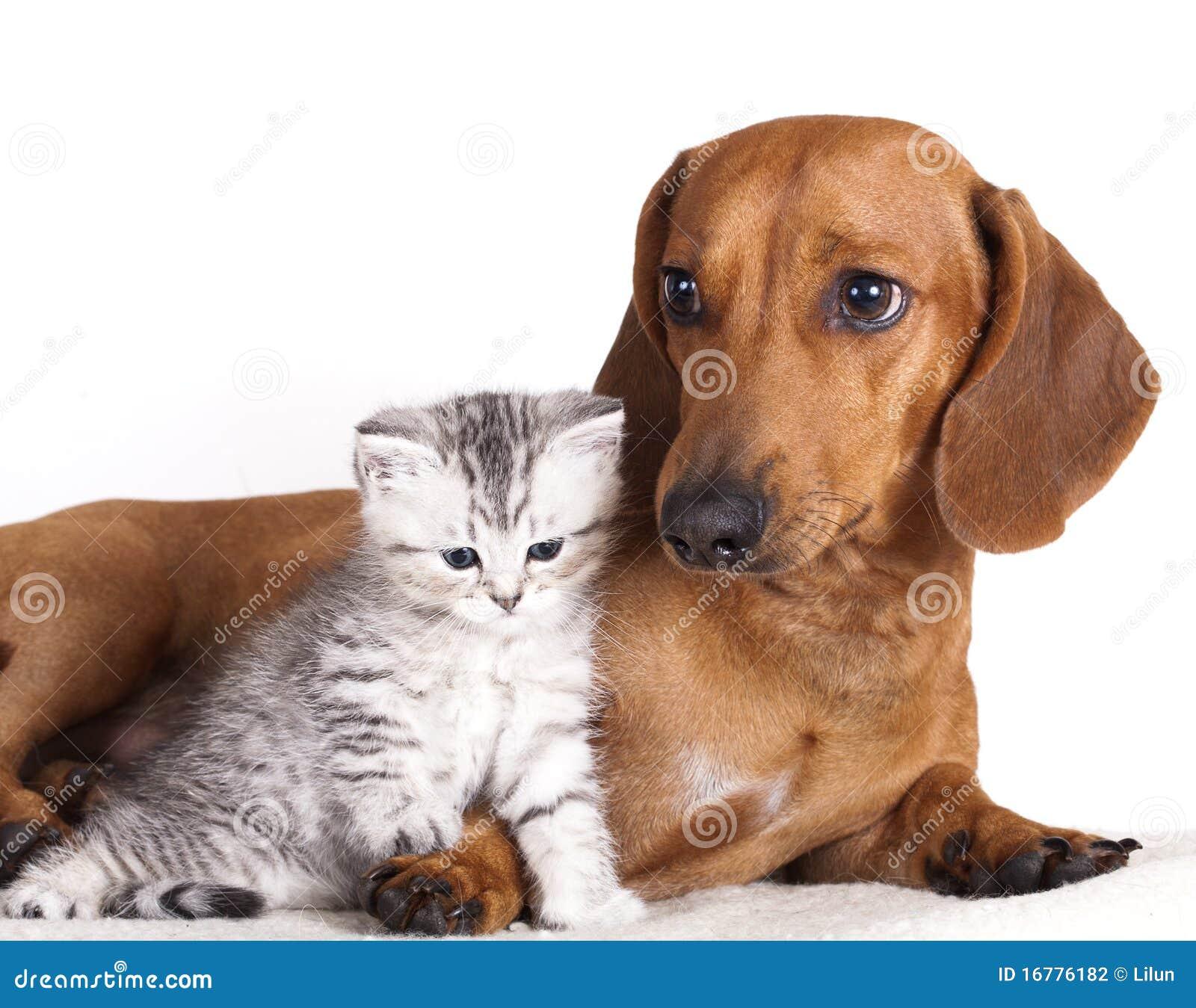 Dachshund dog and kitten  Dachshund Dog