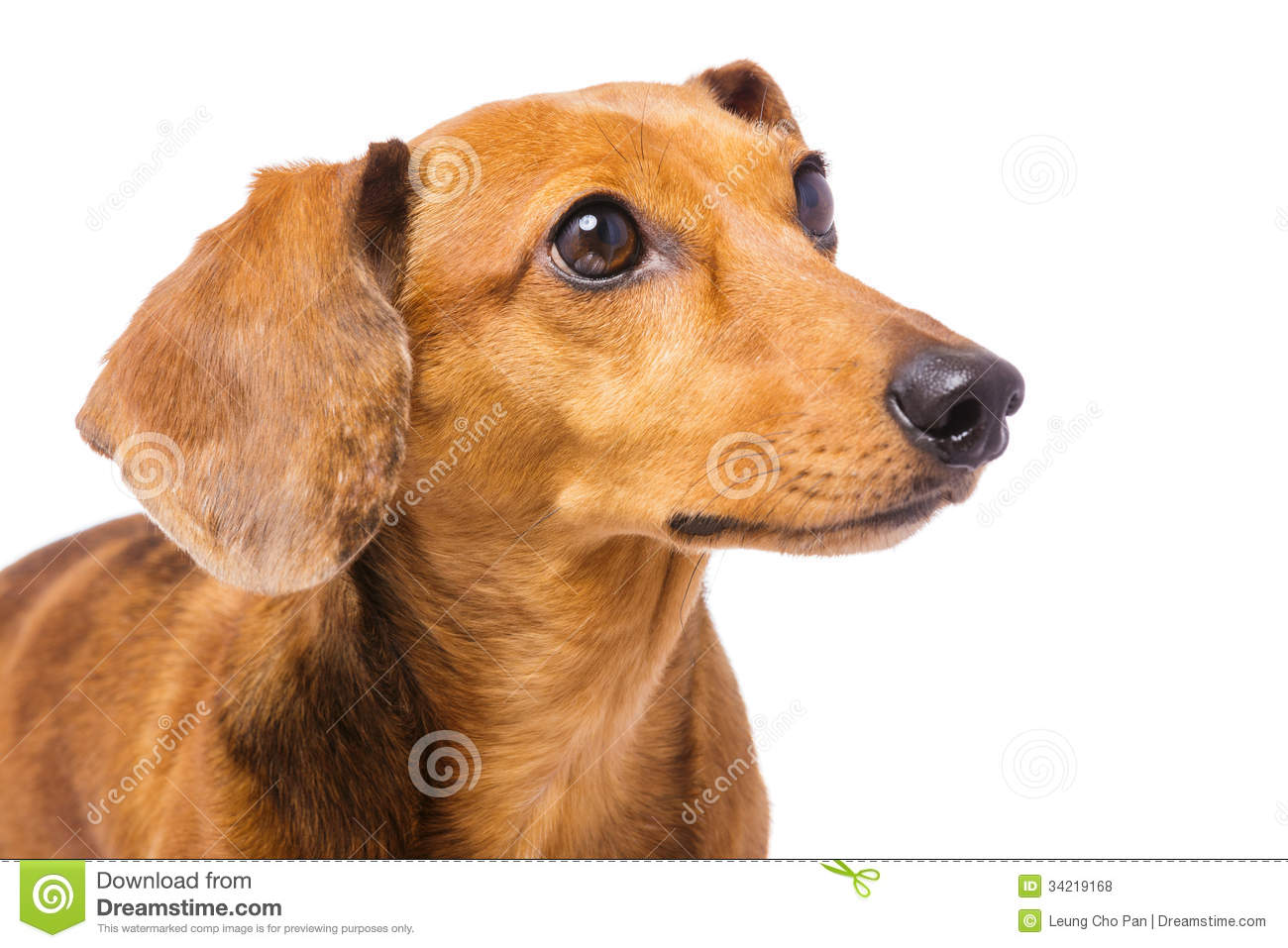 dachshund dog looking at a side stock photo image 34219168. Black Bedroom Furniture Sets. Home Design Ideas