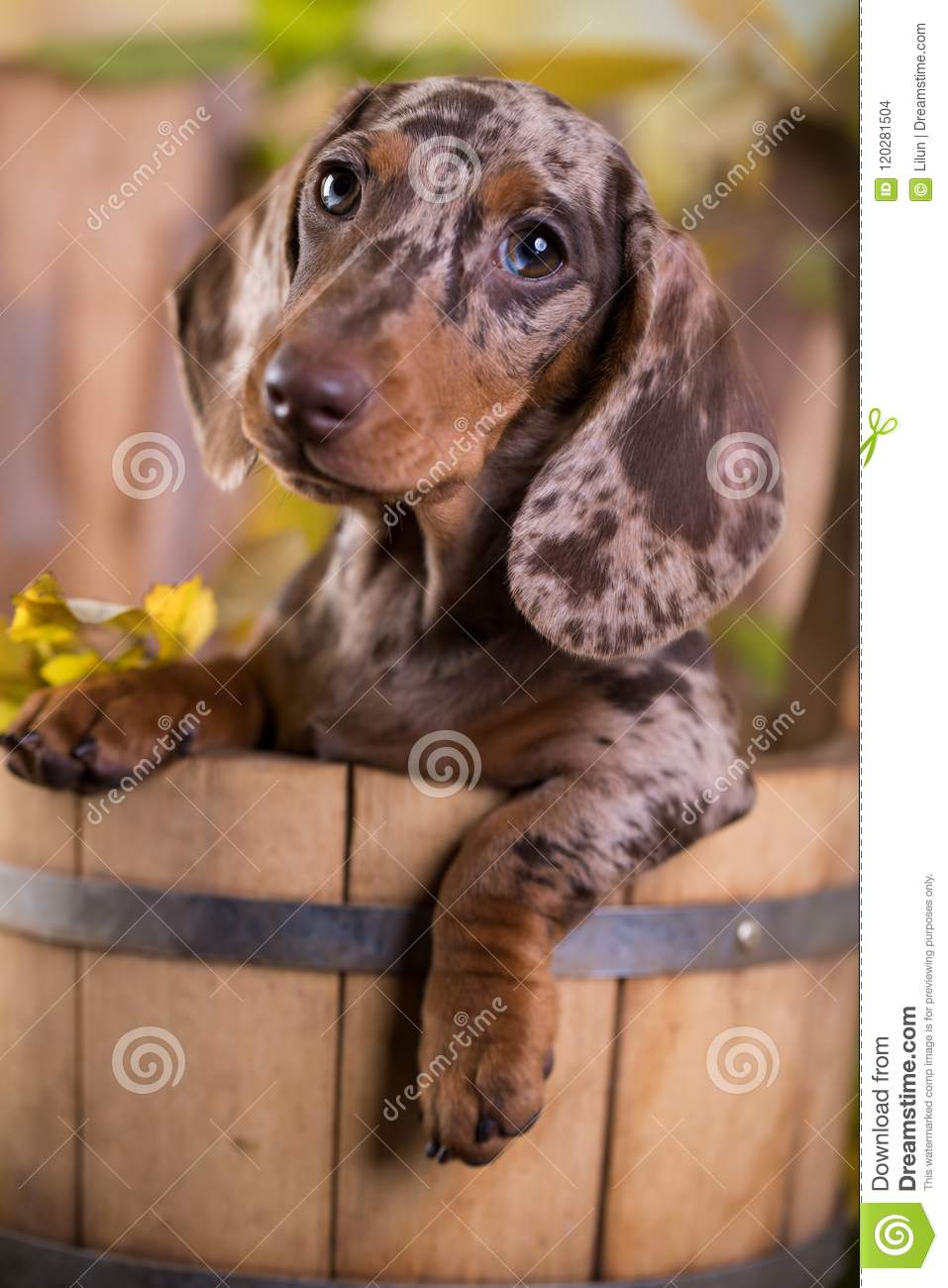 Download Dachshund Dog Marble Colors Stock Photo - Image of domestic, little: 120281504