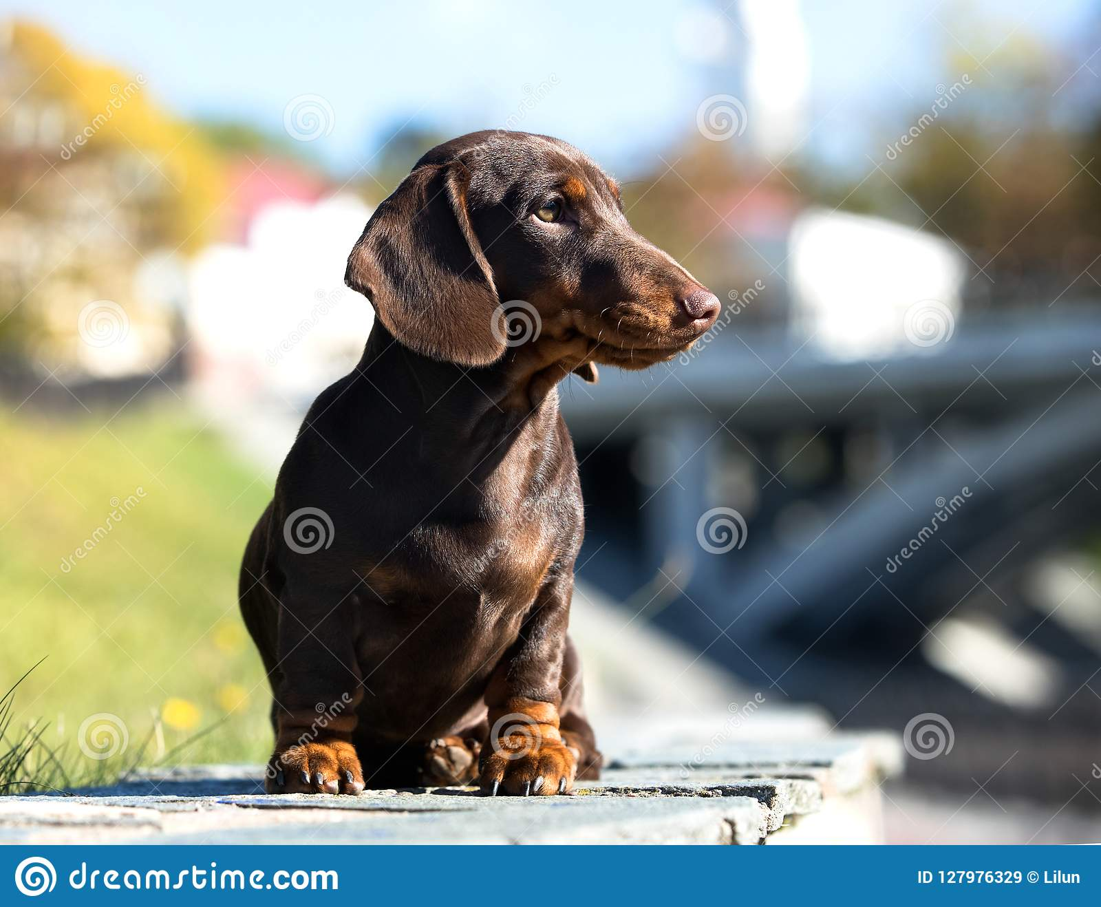 Dog Dachshund Brovn Colors Stock Image Image Of Animals 127976329