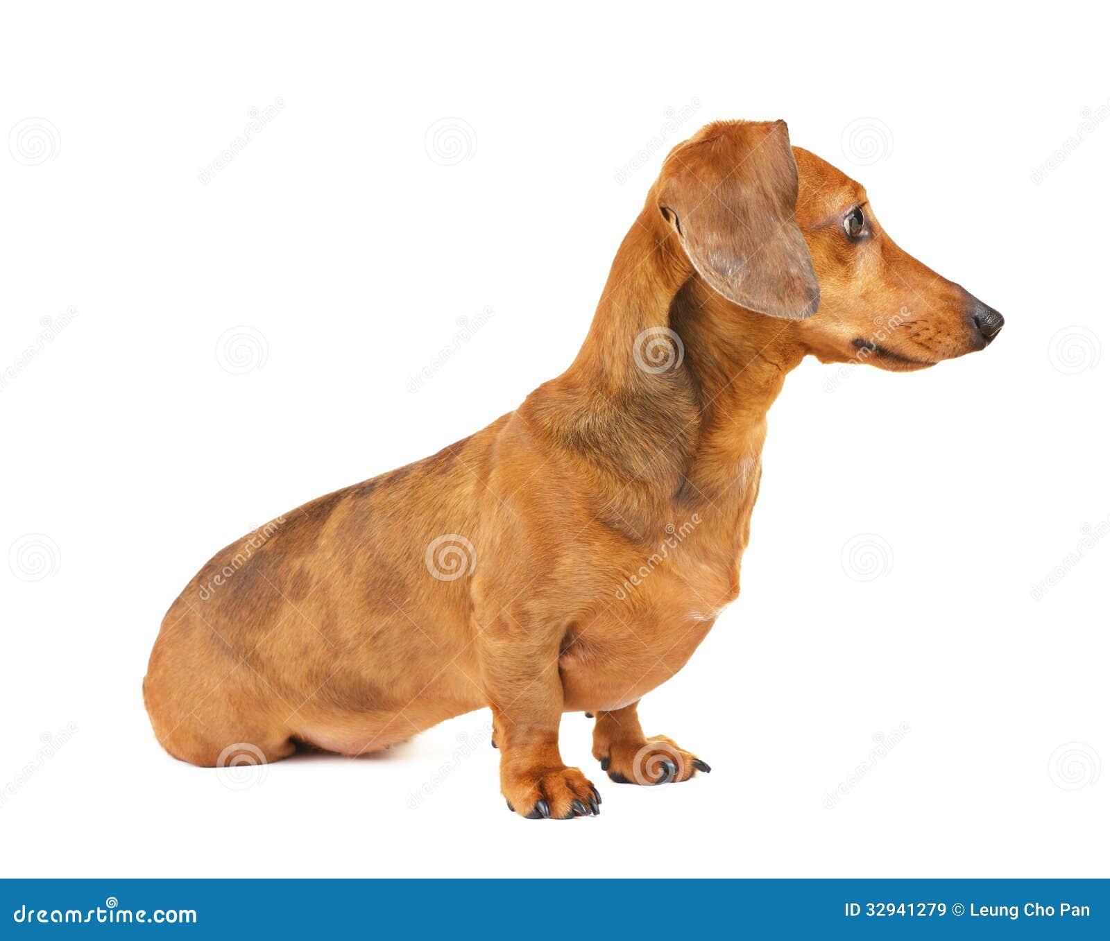 dachshund dog side view stock image image of teckel 32941279. Black Bedroom Furniture Sets. Home Design Ideas