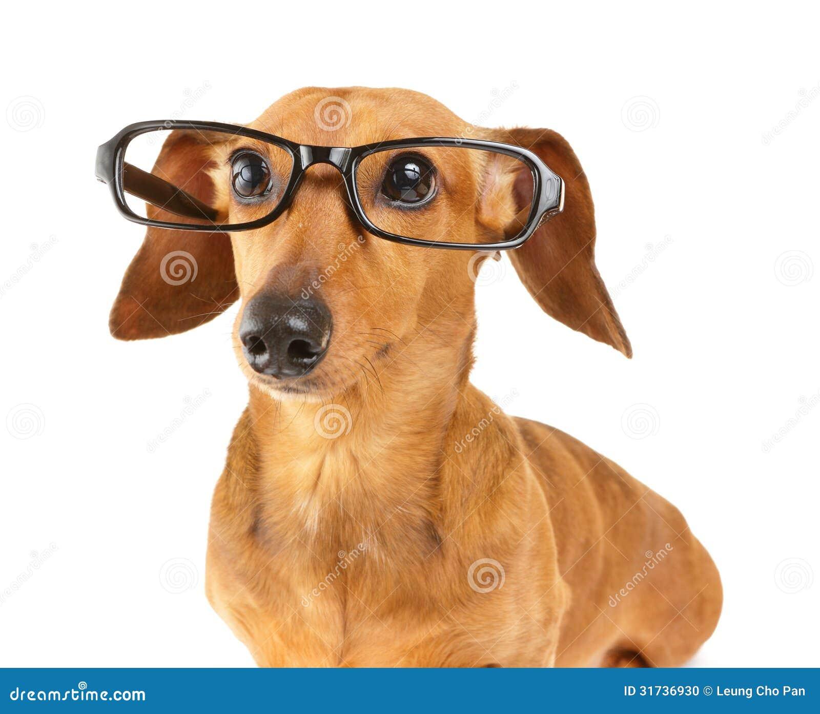 Dachshund Dog Wear Glasses Stock Photo Image 31736930