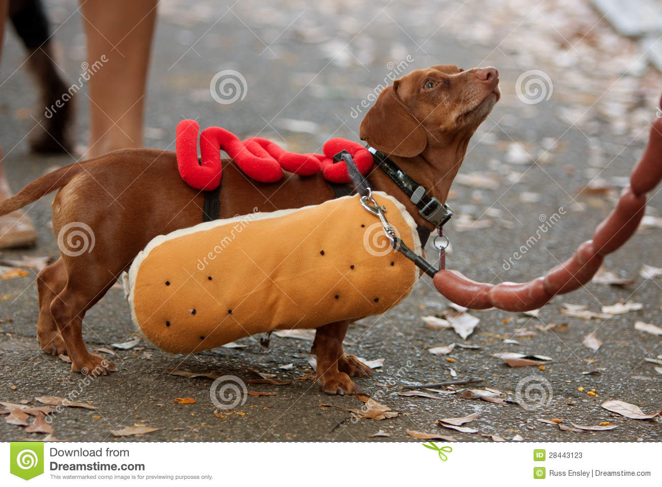 Dachshund Dressed In Hot Dog Costume For Halloween