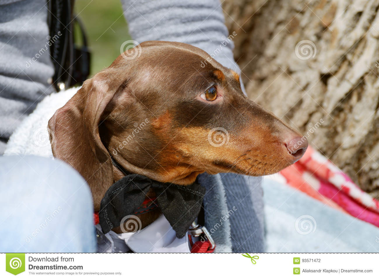 the dachshund is a hunting dog stock photo image of alertness