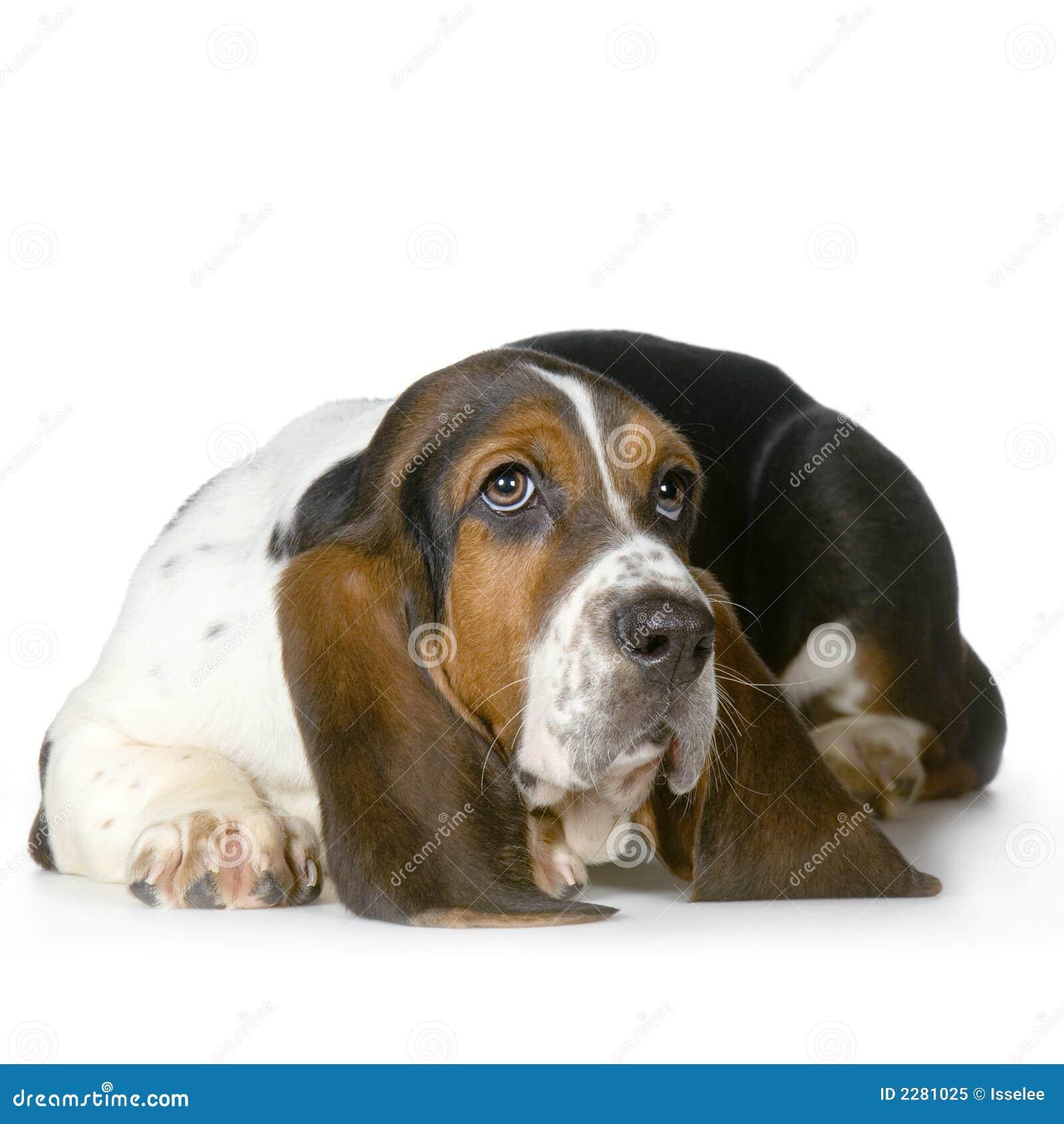 dachshund jagdhund hush puppies stockbild bild 2281025. Black Bedroom Furniture Sets. Home Design Ideas