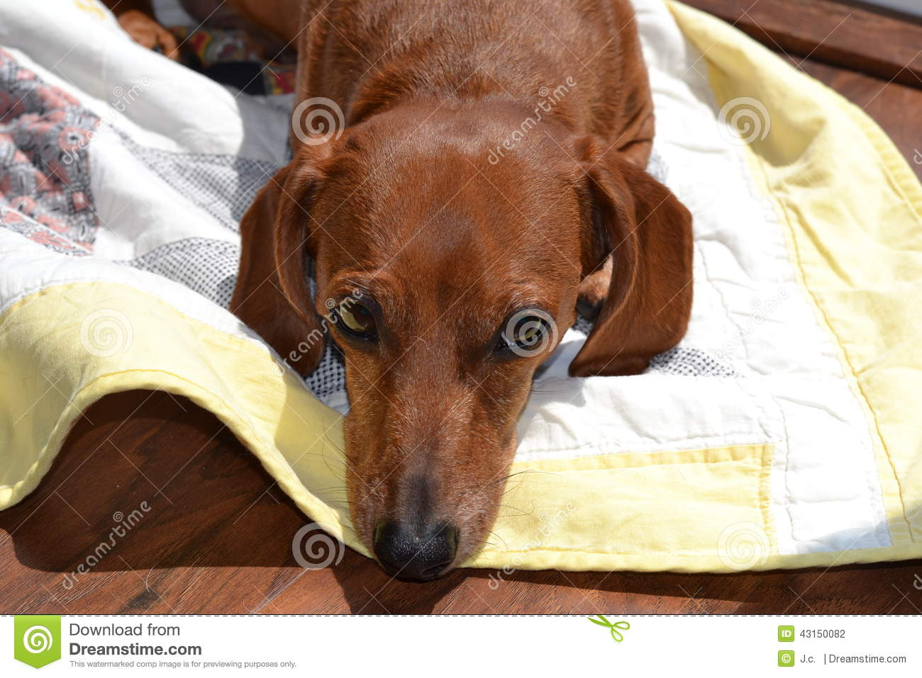 Red Dachshund Stock Photo Image Of Domestic Relaxing