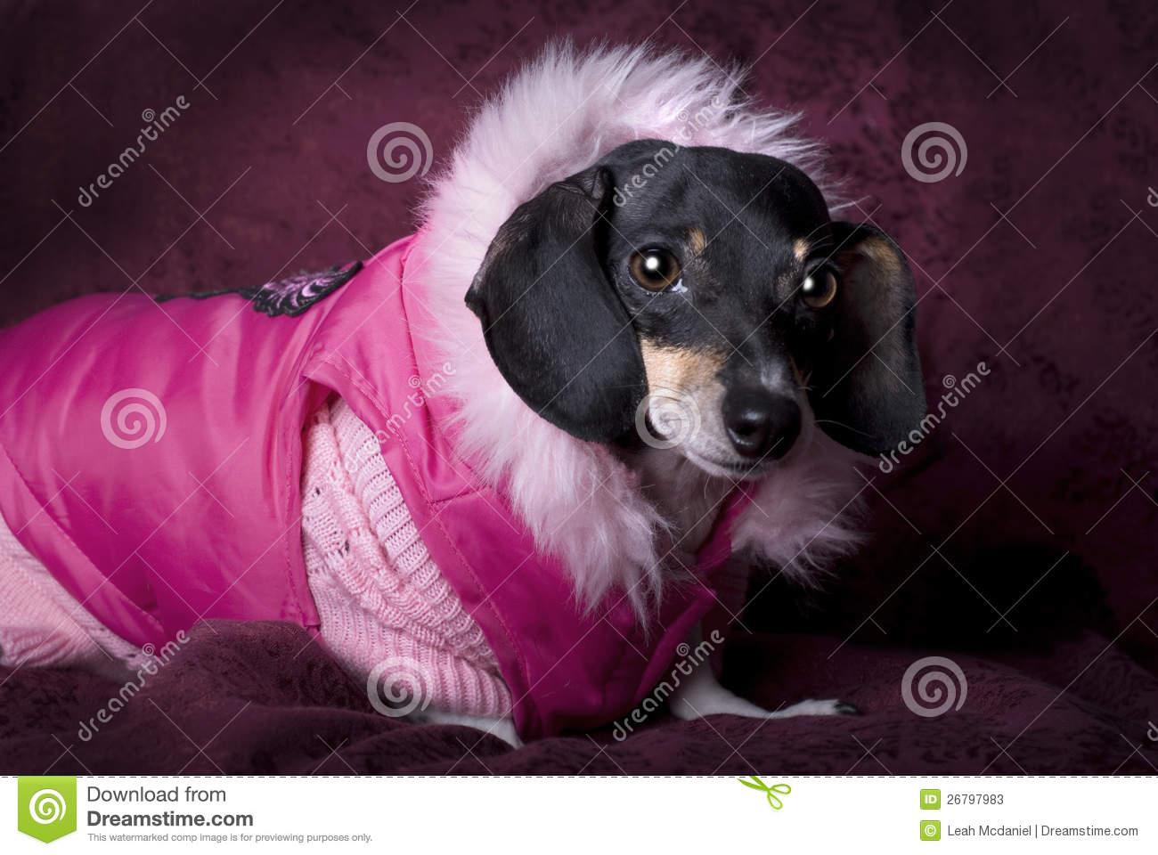 Dachshund Clothes Stock Images Download 285 Royalty Free Photos