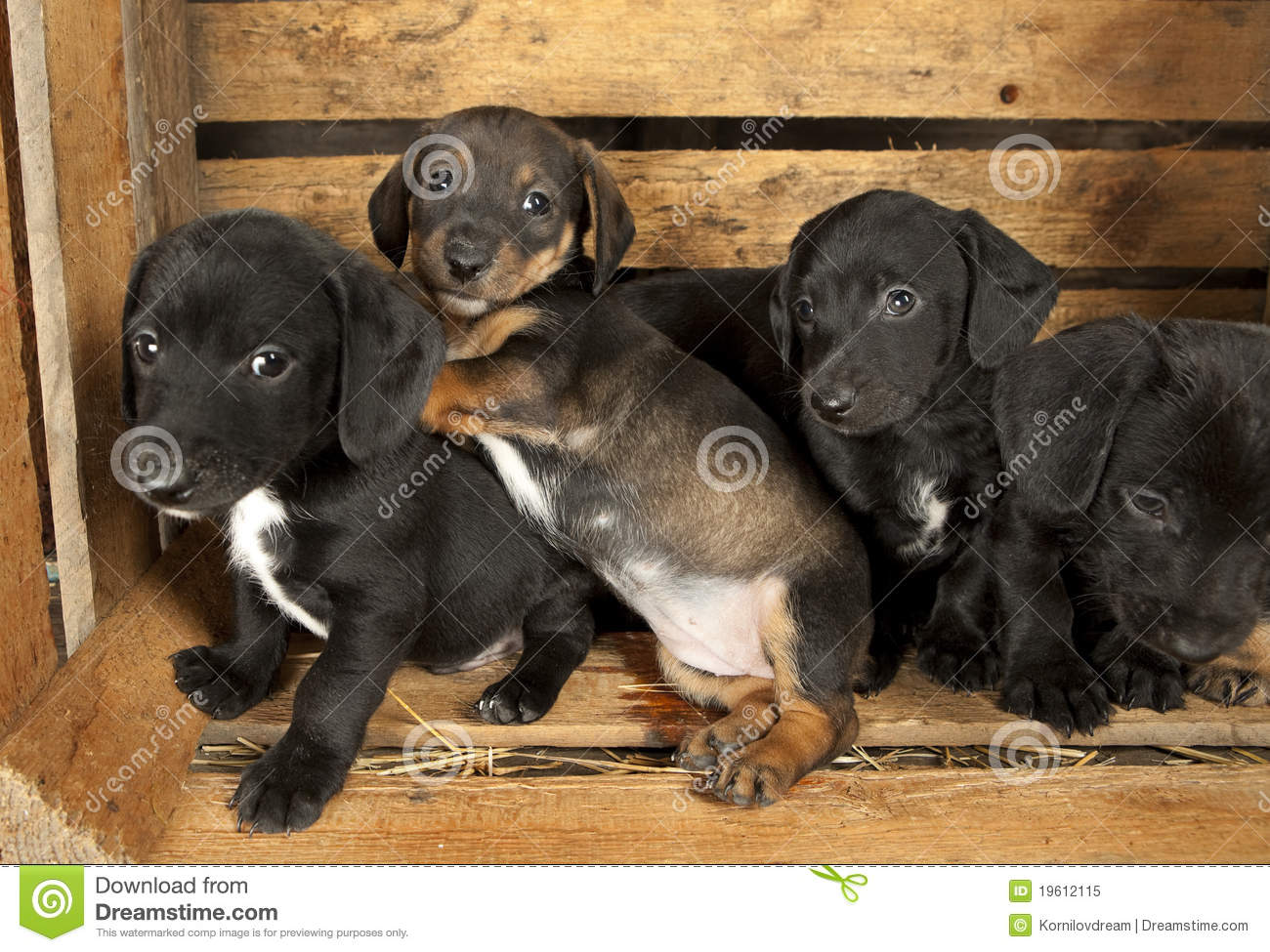 Dachshund Puppies 3 Weeks Old Stock Image Image Of Canine Goofy