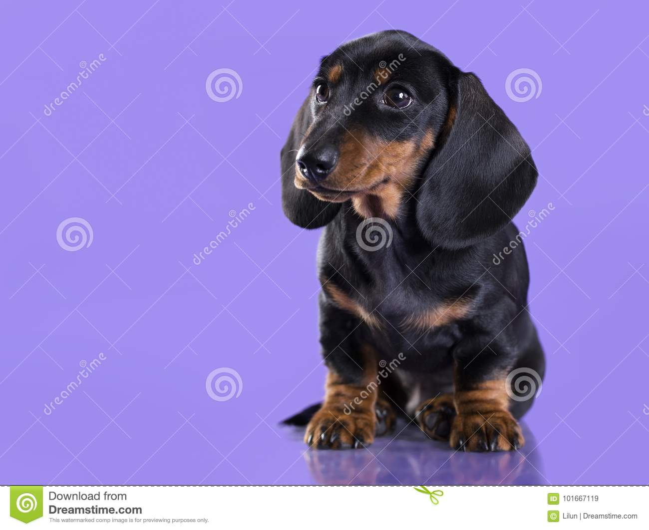 Dachshund Puppy The Black Age 2 Months Stock Image Image Of Pedigree Brown 101667119