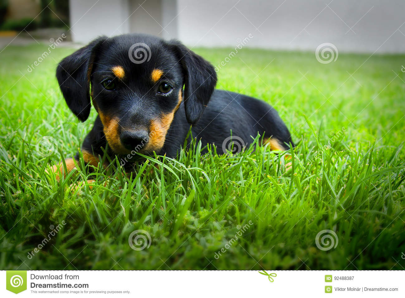 Dachshund puppy stock image  Image of loyalty, friend - 92488387