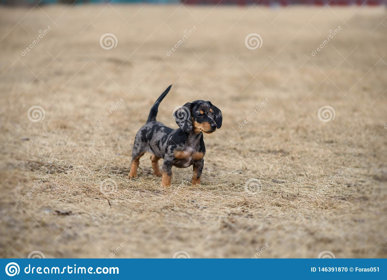 Dachshund Puppy With Blue Eye Stock Photo Image Of Adorable Breed 146391870