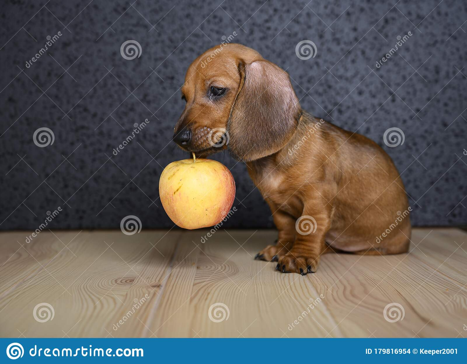 Dachshund Puppy Holds Ripe Apple In His Teeth Stock Photo Image Of Brown Plays 179816954