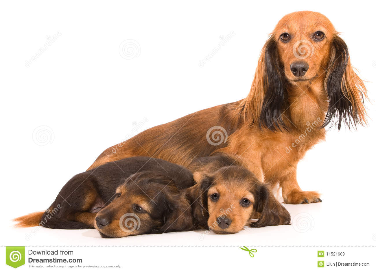 Dachshund Puppy And Mom Stock Image Image Of Puppy Gift