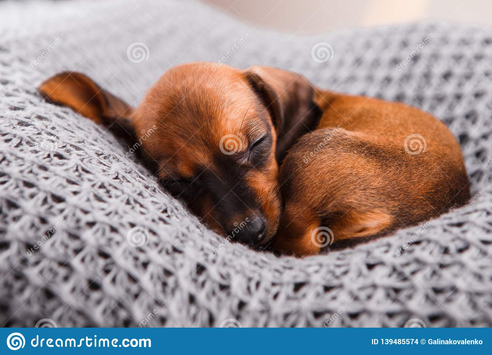Dachshund Puppy Sleeping In Her Bed Stock Photo Image Of Baby Black 139485574