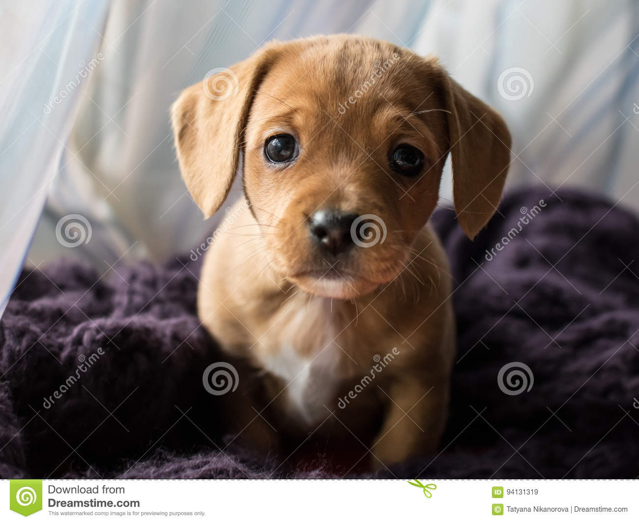 Dachshund Puppy Stock Image Image Of Longhair Color 94131319