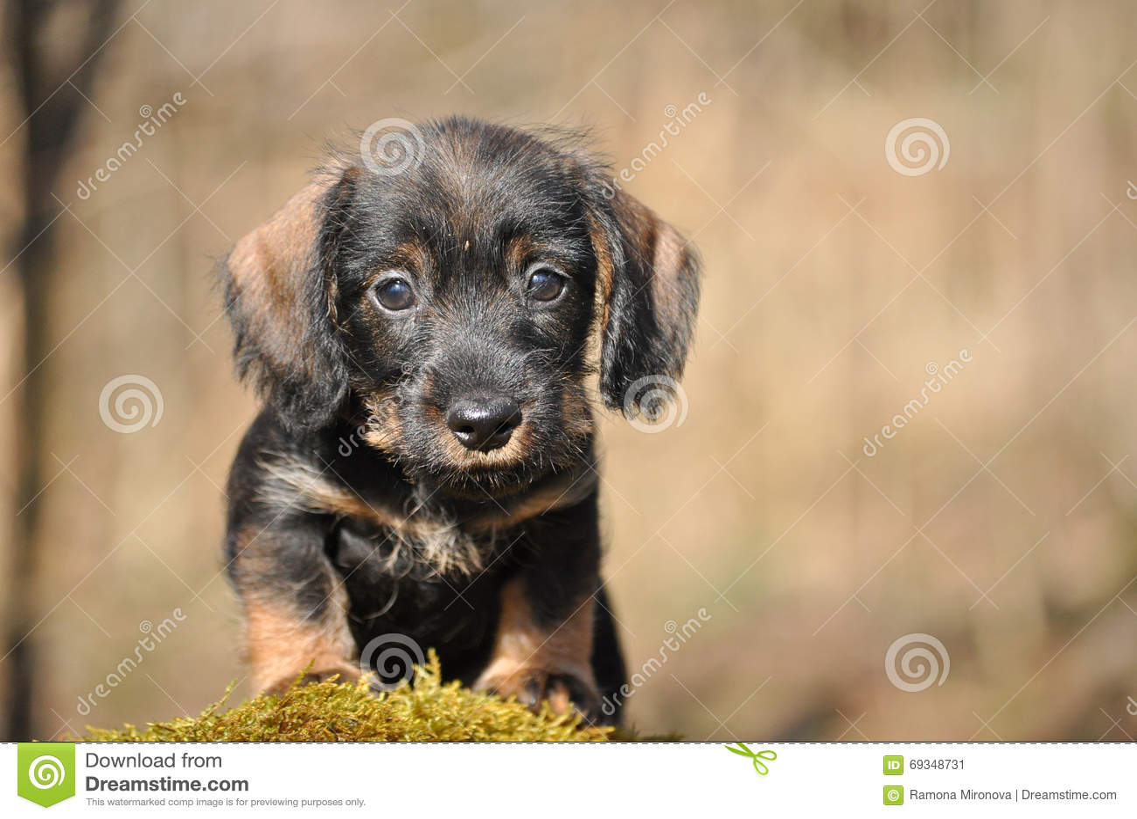 Dachshund Puppy Stock Image Image Of Kids Stump Puppy 69348731