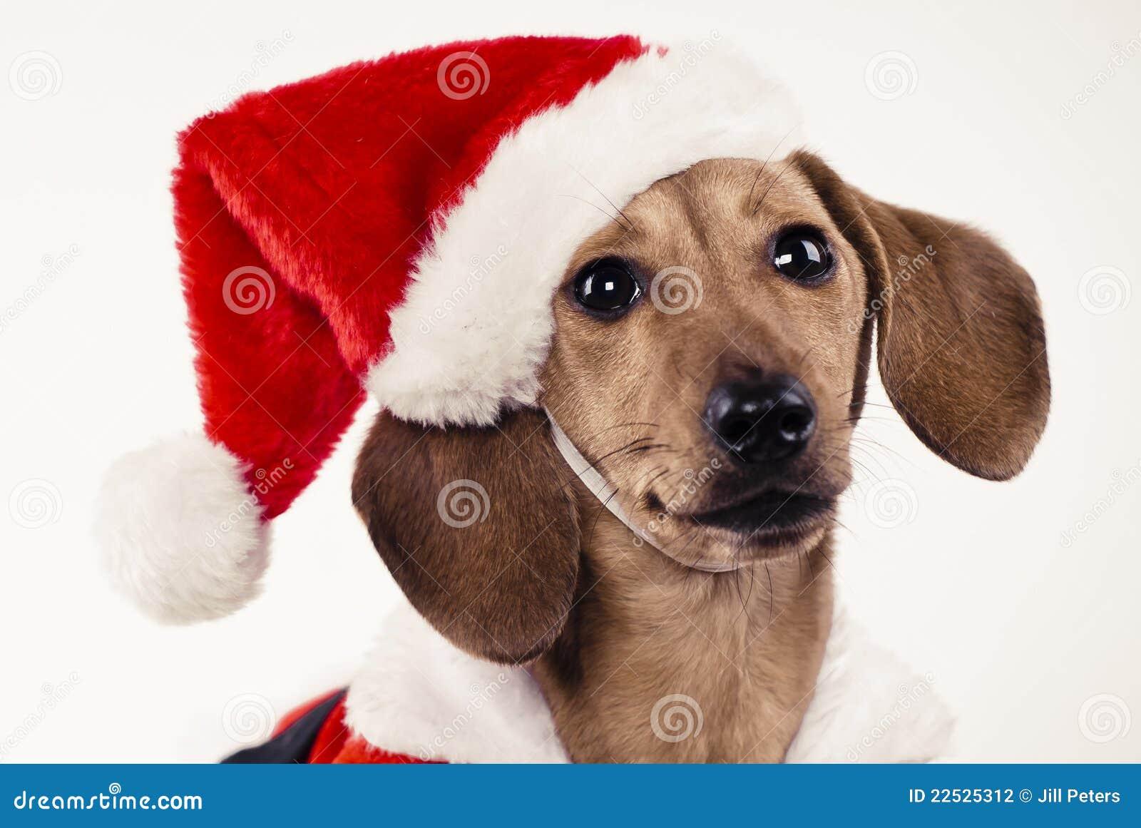 Dachshund puppy wearing santa claus hat stock photography