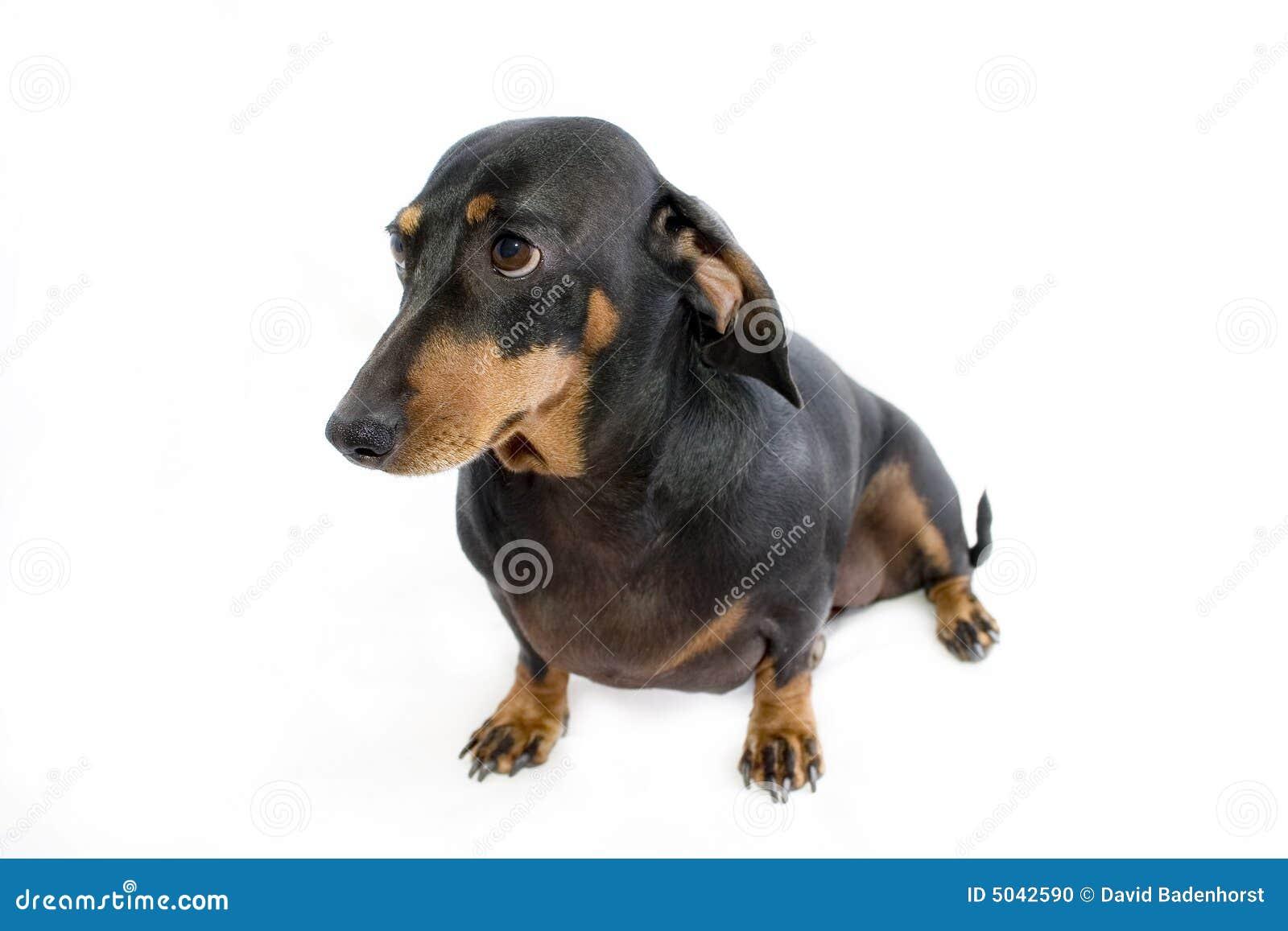 Black Dachshund Dogs
