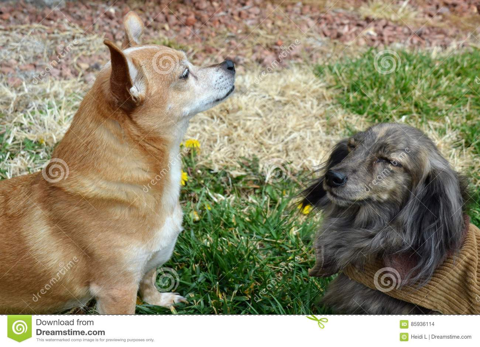 Dachshund und Chihuahua
