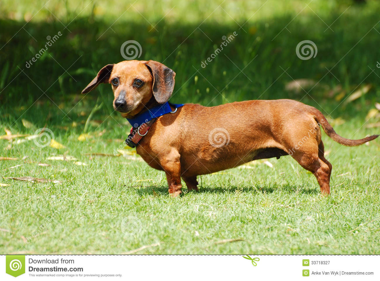 Dachshund in the wind ...