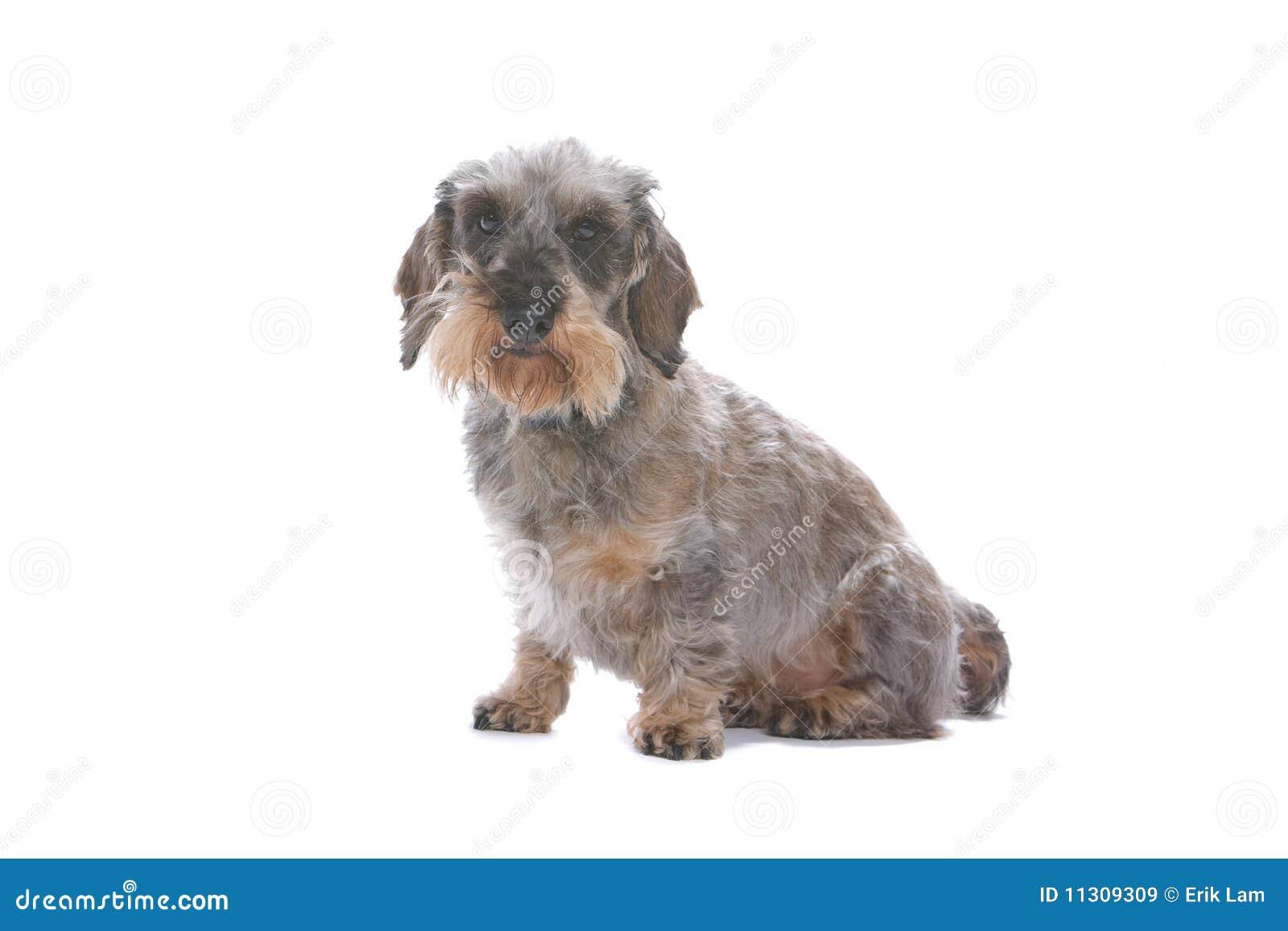Dachshundhund